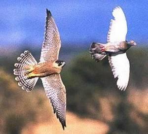 Les nuisibles pour les pigeons