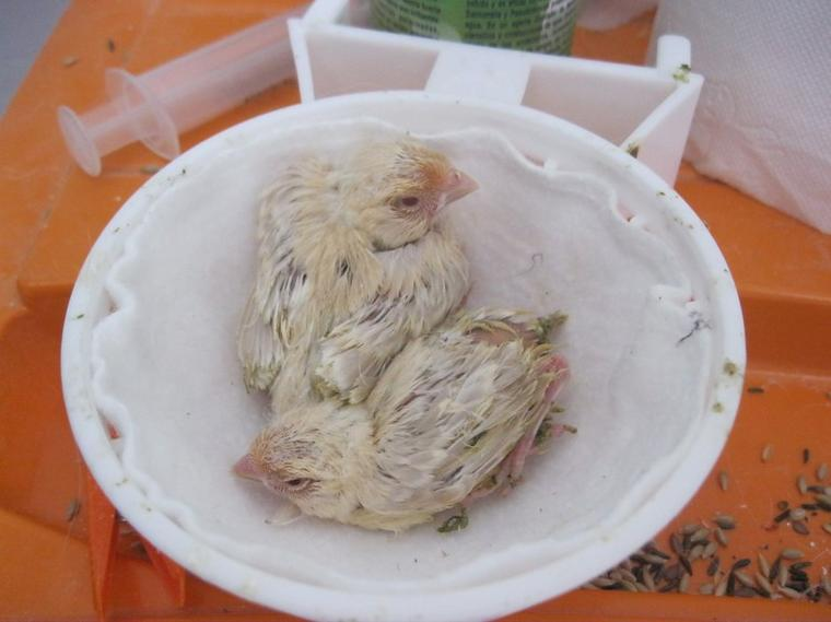 Pollos 2013