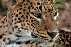 La Panthère du Sri Lanka