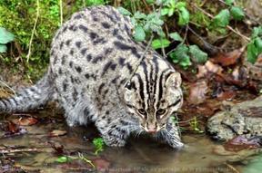 Le chat viverrin, dit pêcheur