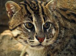 Carte d'identité du chat viverrin, dit chat pêcheur