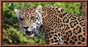 Carte d'identité du Jaguar