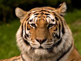 Un tigre blessé et sauvé graçe au courage des villageois indiens