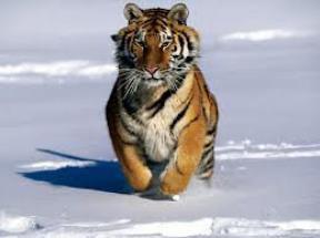 Des pièges installés pour sauver les derniers tigres de Chine