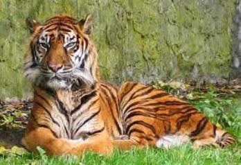 Le WWF appelle à protéger les tigres de Sumatra
