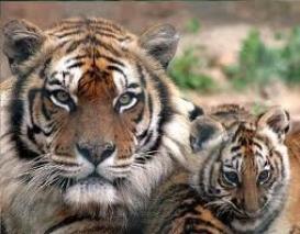 Le Bangladesh protège ses tigres !