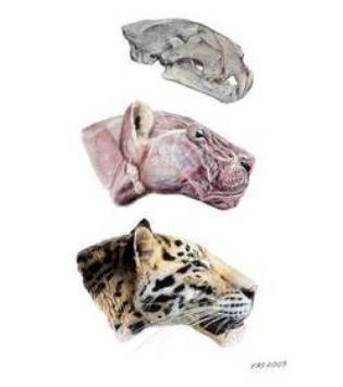 Surprenant, Le fossile d'un félin retrouvé !