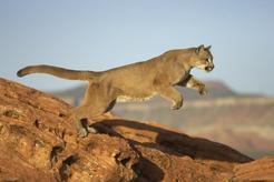Carte d'identité du Puma