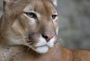 Le Puma de l'Est-Américain déclaré éteint.