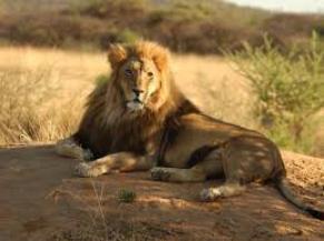 Les lions d'afrique de plus en plus rares à cause de la diminution des savanes.