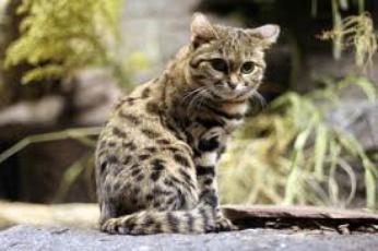 Carte d'identité du chat marbré