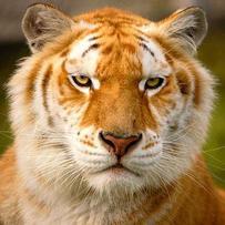 Le Tigre Doré