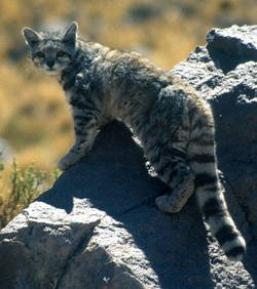 Une nouvelle population raricisme de chats des andes!!! ;)
