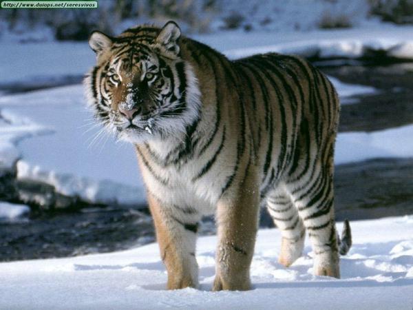 Carte d'identité du Tigre de Sibérie (Tigre de l'Amour)