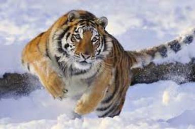 Le Tigre de Sibérie, en danger !