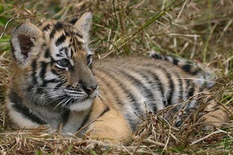 Kouma le bébé tigre de Fréjus