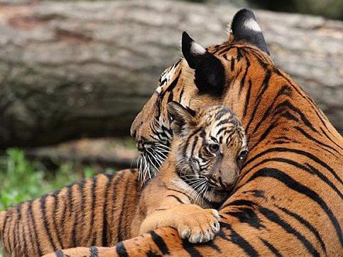 Trop belles photos de tigres!!