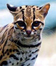 Carte d'identité du Margay dit Chat Tigre ou Oncille