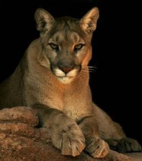 Le Puma commence à reconquérir le territoire Américain !
