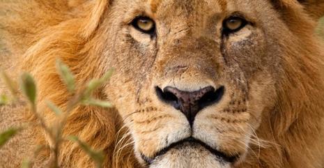 DU LION DANS DES SANDWICHS !