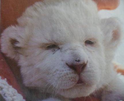 Les Lions Blancs
