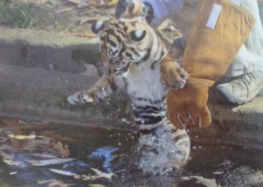 """1 bébé tigre a pris une """"leçon"""" de natation !!!"""