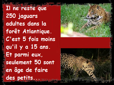 Les jaguars disparaissent peu à peu dans la forêt Atlantique.....