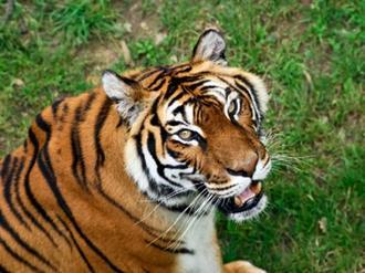 À 17ans, elle partage sa chambre avec un bébé tigre !!