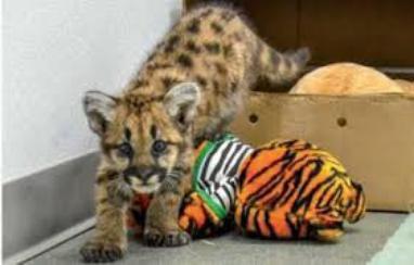 Un bébé puma a été trouvé et sauvé...