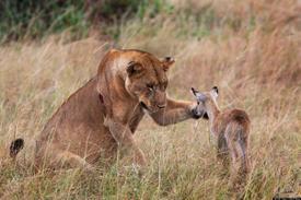 Une lionne qui joue avec un bébé antilope ?