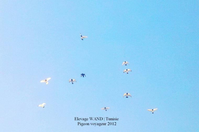 Entrainement et remise en aile ! Mes pigeons voyageur