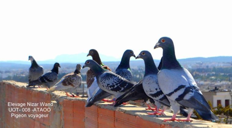 Mes pigeons voyageur