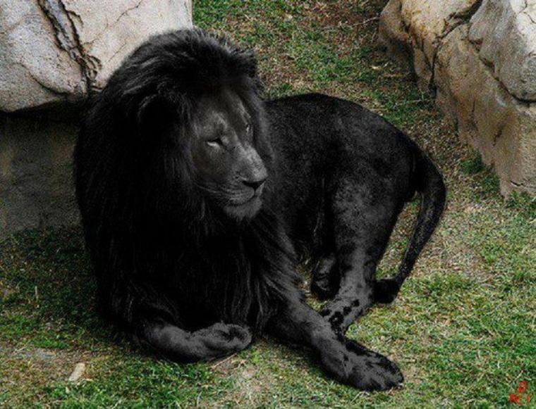 Le Lion noir: Vive les animaux♥♥♥♥♥