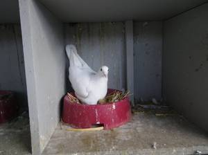 pigeon voyageur blanc