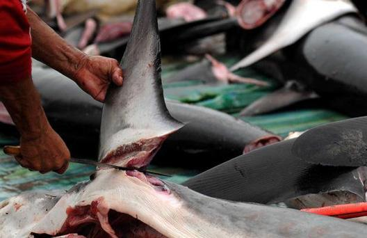 Contre le massacre des requins