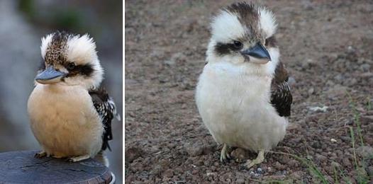 Kookaburra, l'oiseau rieur