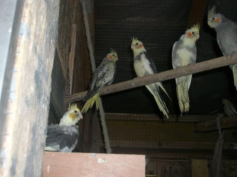 Jeunes calopsittes