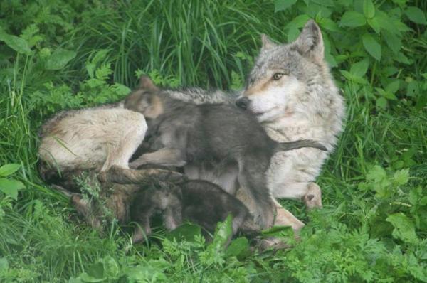 le loup ...