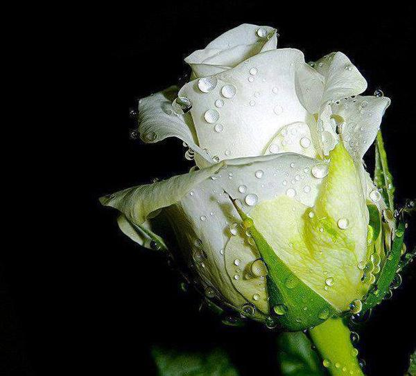 jolie rose ..