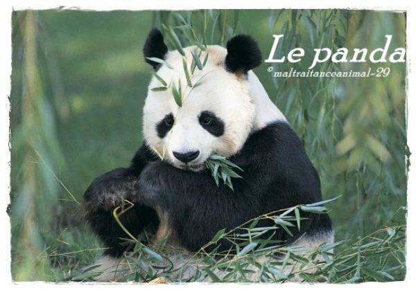 Les Pandas en voie d'extinctions !