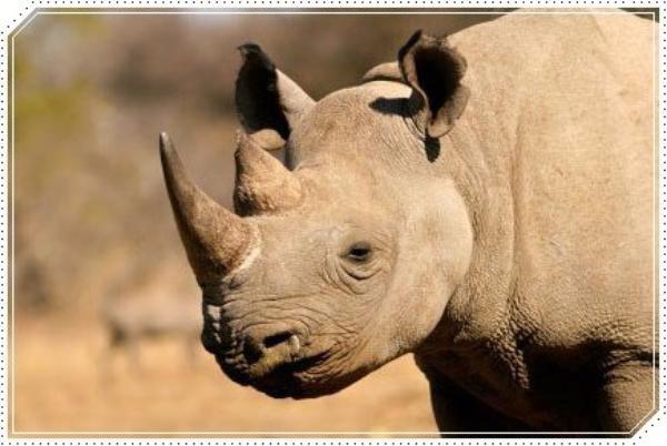 Le rhinocéros noir en danger