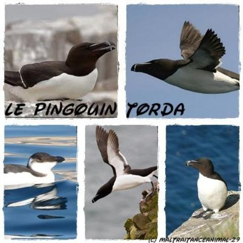 Le pingouin Torda