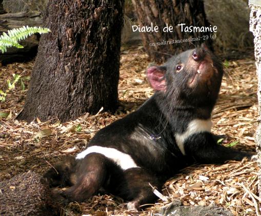 Phoque de Caspienne et Diable de Tasmanie, tout deux en danger critique d'extinction.