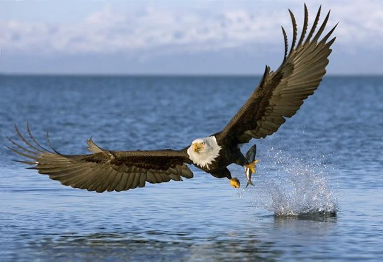 Aigle = Aquila