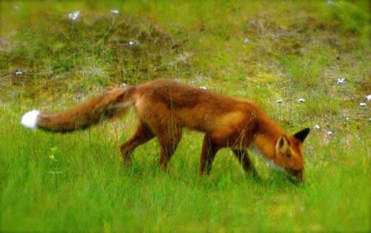 Petit renard = Vulpecula