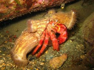 La grande Pagure Rouge (Dardanus calidus)
