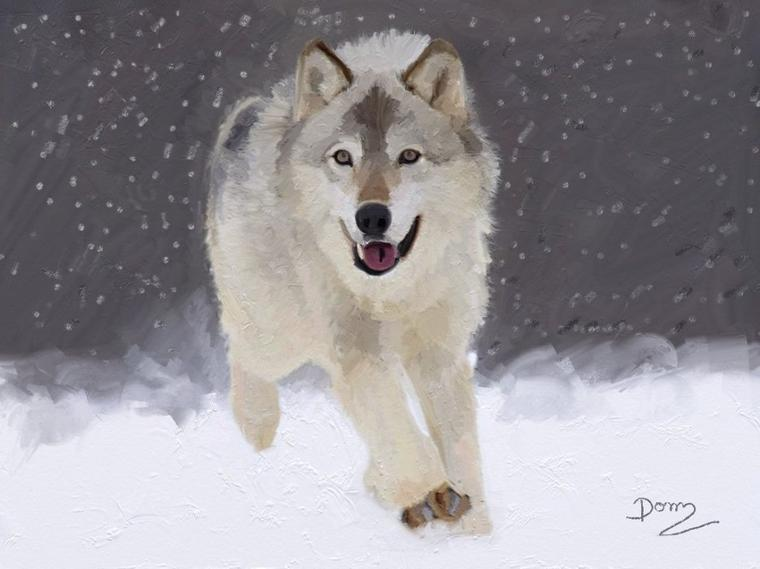Le Loup blanc  en hiver !!!!!!!!!!!!!