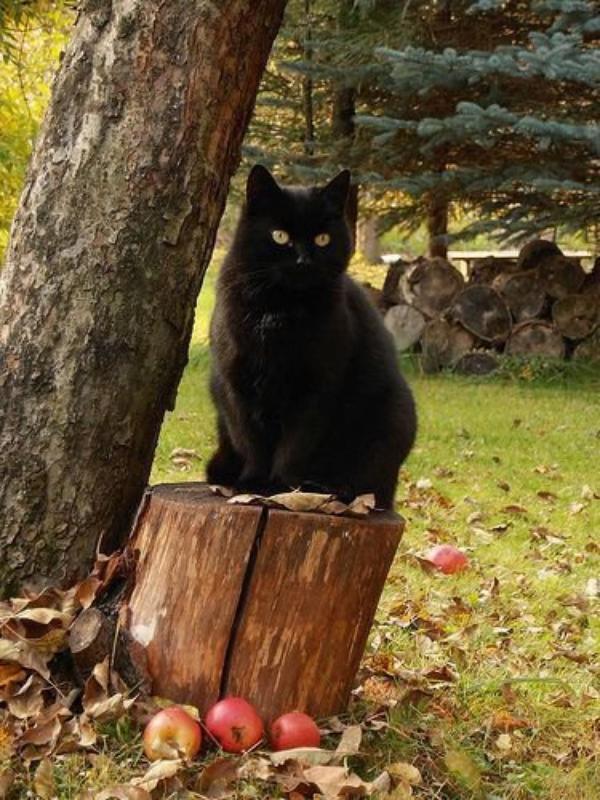 Magnifiques chats noirs.