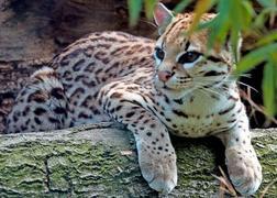 Carte d'identité - Ocelot (Leopardus pardalis)