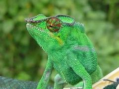 Carte d'identité - Caméléon panthère (Furcifer pardalis)